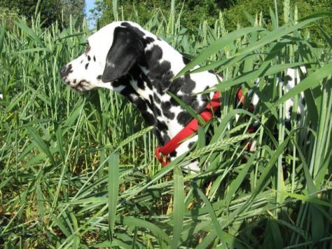 dalmatiner-hummel-tag59-gras