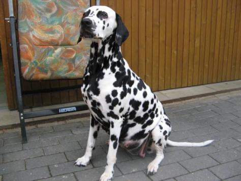 dalmatiner-hvmd-tag56-sitzend