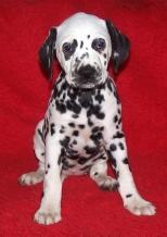 Puppy Hummel vom Magdeburger Domfelsen (2004)