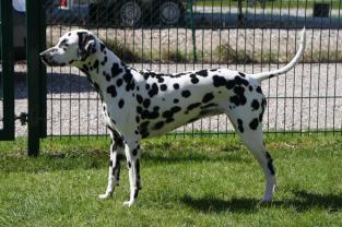 Wach-Hund