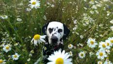 Blumen-Hummel