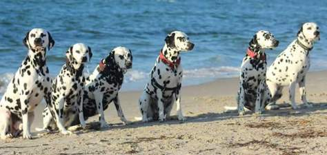 Dalmatien-von-den-sandstuecken, DIERHAGEN 2015, 5.welpen-treffen