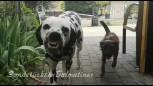 dalmatiner-hermine-lacht
