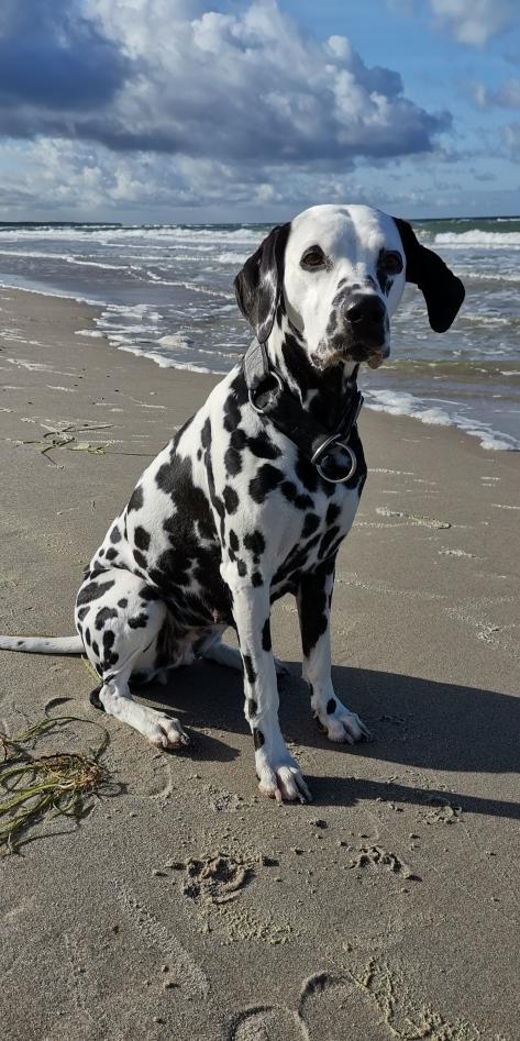 hermine-dalmatiner-am-strand